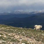 On the way up to Mt Quandary summit we saw mountain goats and their baby